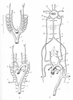 Развитие артерий