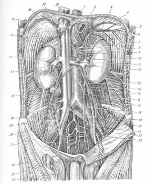 Брюшная  аорта