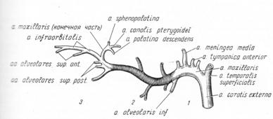 Артерии схема рисунок