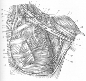 Артерии верхней конечности